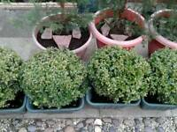 4 large Buxus in pots