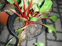 Two red stems Swiss Chard plants in a large 12 L plastic pot