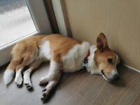 SOLD Corgi Cross puppy 1 year old