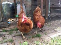 Hens   Birds for Sale - Gumtree