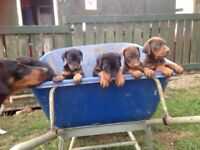 Gorgeous Doberman puppies for sale