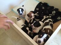 Jackrussell cross puppies
