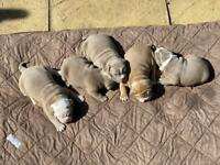Adorable Lilac Old English Bulldog Puppies