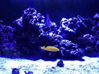 Marine Fish - MUST SELL ASAP - Reef Safe (Tangs, blenny and wrasse)