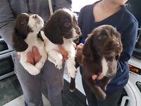 3 boy sprocker puppys