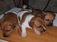 Miniture jack russell pups