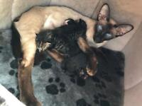 Siamese x kittens for sale full injections microchip worm and flea