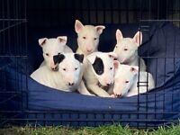 2 English Bull Terrier Puppies