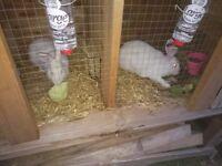Rabbits New Zeland White Rabbits