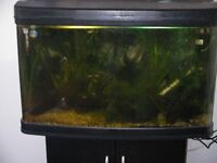 large male pied angel fish for sale