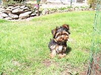Pedigree cup mini size yorkshire terrier puppys
