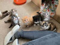 Persian kittens | Cats & Kittens for Sale - Gumtree