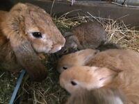 Large lopped baby rabbits