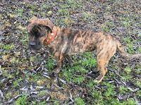 5 month mastiff pup