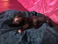Female kitten 8 weeks 40 pound