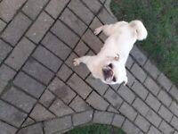 Pug female dog