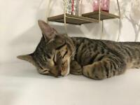 7 Month Boy Kitten Bengal X - Urgent