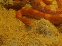 Corn snakes with full set up (collection only)