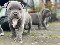 Blue Staffordshire Bull Terrier Puppies, Staffy pups, KC Registered