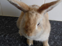 Female fawn coloured rabbit looking for a new home