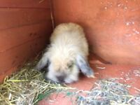 Male lop rabbit
