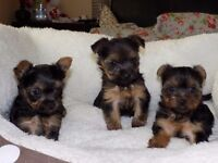 Mini yorkshire terrier puppies for sale