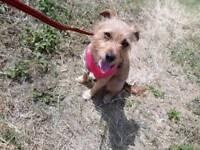 Jack russell cross yorkshire terrier