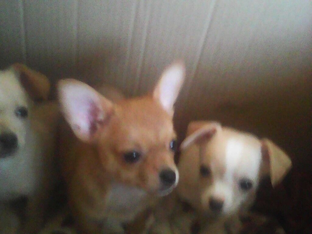 Only 2 Chihuahua Puppies Left Girls At Reduced Price 45000