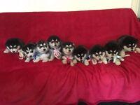 Beautiful Alaskan Malamute Pups for Sale