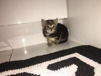 12 week old kittens for sale