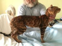 Stunning pure bread BENGAL Kittens - SEE BOTH PARENTS