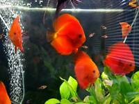 Red Melon Discus and 1 Red Turq.