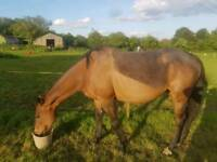 Ex racehorse 13 years old