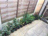 40 EVERGREEN GARDEN PLANTS IN POTS