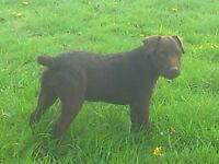 Patterdale bitch terrier for sale