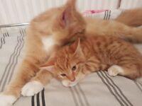 Kitten persian cross bengal kitten for sale