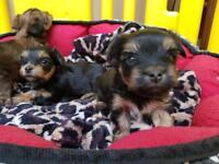 Biewer terrier puppys for sale