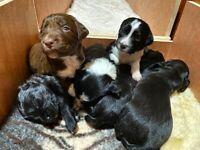 Springer spaniel x collie puppies