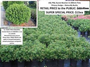 Lilly Pilly Aussie Boomer Syzygium Privacy Hedge Quality HS052 Mudgeeraba Gold Coast South Preview