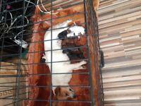 Yorkie russell beautifull puppies will com vet checked
