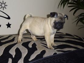KC registered male PUG puppy ready to leave