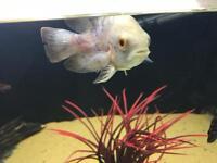 Tropical fish oscars