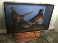 Taxidermy pheasants and teal