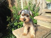 Mini yorkshire terrier female for sale