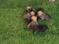 Yorkshire cross Chihuahua puppies
