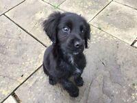 Black Sproker Puppy