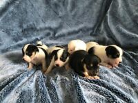 Lovely pure bred Jack Russell puppies for sale
