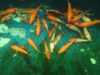 "sanke and kahaku koi carp 4"" to 6"" pond fish"