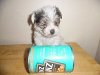 TINY MORKIE PUPS BOYS AND GIRLS AVAILABLE SMALLEST YOU WILL FIND