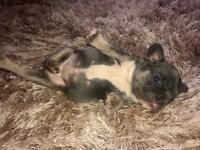 BLUE & TAN FRENCH BULLDOGS POSS CHOC CARRIERS
